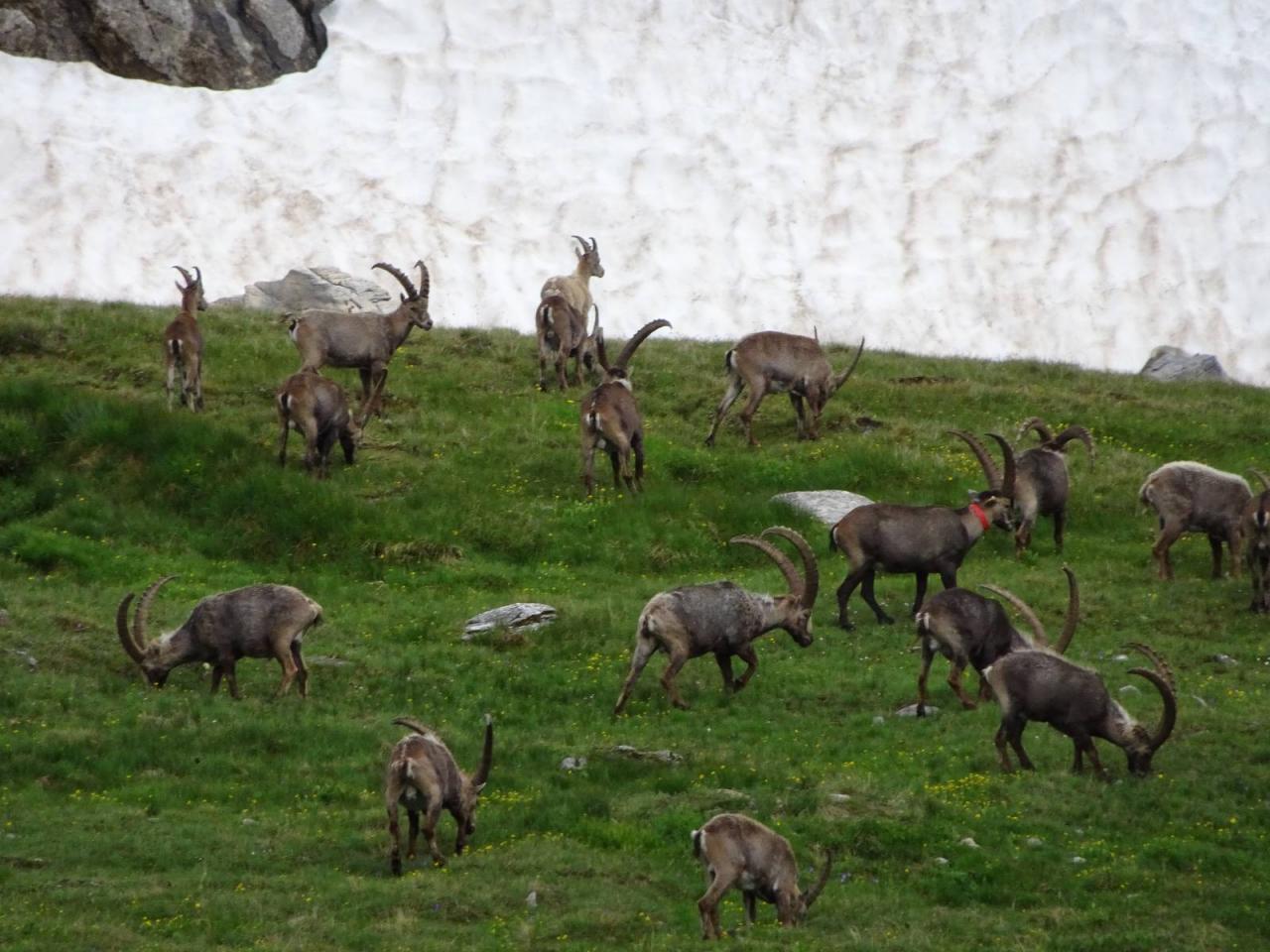 Bouquetins au Col de la Vanoise