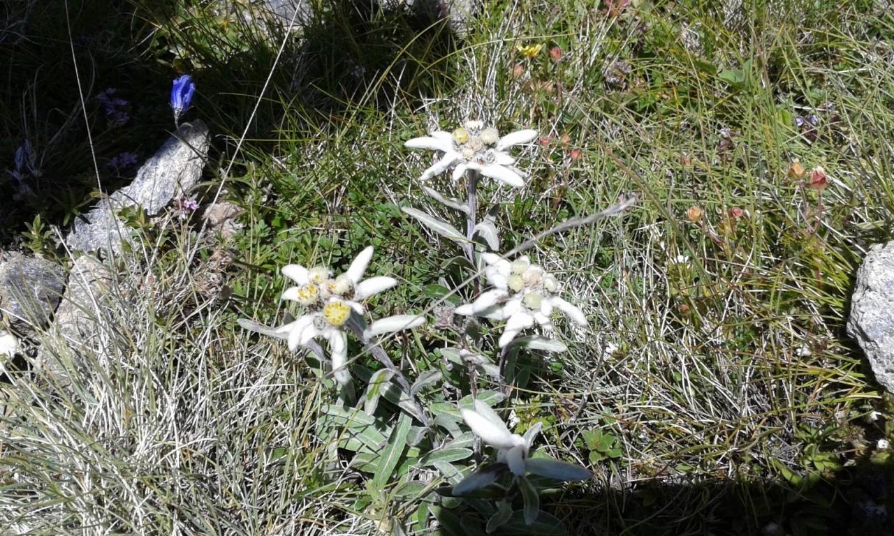 Edelweiss au sommet de la pointe de Lanseria